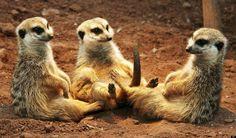 I love meerkats.