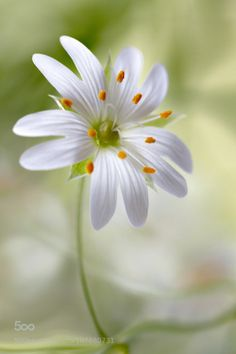 tinnacriss: Stitchwort by MandyDisher