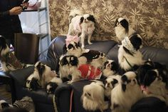 japanese chin party