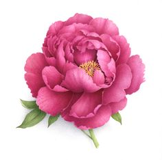 Pivoine arbustive. Tree peony. Vincent Jeannerot