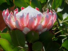 King Protea King Protea, Cape, Flora, Plants, Jewelry, Mantle, Cabo, Jewlery, Jewerly