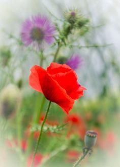Poppies - null