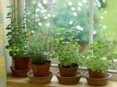 Indoor Vegetable Gardening How to Overwinter Garden Herbs Indoors - Wondering how you can keep growing your favorite tender herbs indoors during the winter? Here are some tips for bringing your favorite herbs indoors. Herb Garden Planter, Herb Garden In Kitchen, Kitchen Herbs, Herbs Garden, Herb Plants, Garden Ponds, Garden Oasis, Big Garden, Succulent Planters
