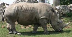 http://vbeaud.free.fr/Sciences/Biologie/Mammiferes/jpeg/Rhinoceros_01_mini.jpg