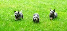 Three Australian Cattle Dog Pups
