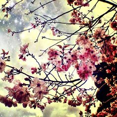 Japanese cherry blossom tree.  Galaxy, nebula sky and clouds.