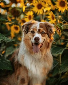 Kittens And Puppies, Cute Puppies, Pet Dogs, Dog Cat, Doggies, Life Is Ruff, Aussie Dogs, Hiking Dogs, Super Cute Animals