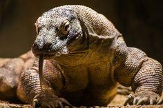 Dragon of Komodo... on Tumblr