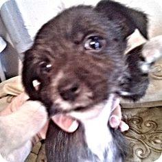 Brookside, NJ - Shih Tzu/Terrier (Unknown Type, Medium) Mix. Meet Tiki, a puppy for adoption. http://www.adoptapet.com/pet/12506126-brookside-new-jersey-shih-tzu-mix