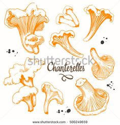 Vector illustration with set of mushrooms in sketch style. Hand-drawn chanterelles on white background. Delicatessen orange mushrooms. Autumn forest harvest.