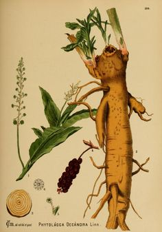 American medicinal plants; - Biodiversity Heritage Library