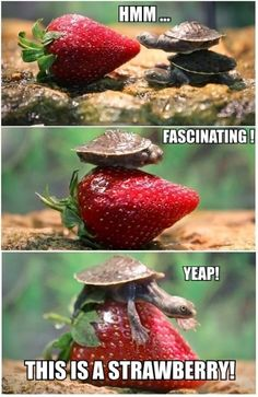 Little Turtle #Fascinating, #Strawberry