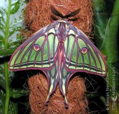 moth species pictures in spain | Spanish Moon Moth Actias isabellae male