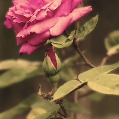 'Rustic Rose' by Sophie Watson Art Work, Rustic, Rose, Flowers, Plants, Photography, Image, Artwork, Country Primitive