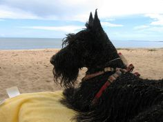 The first time I ever saw a Scottie I was about 7 years old and we were at the beach. An old man was walking a Scottie along the water and I remember thinking Wow! What a beautiful and wonderful dog! This started my love of Scotties such a long time ago.