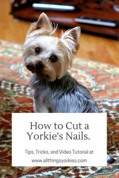 All About The Yorkshire Terrier Dog Size Yorky Terrier, Bull Terriers, Yorkie Puppy, Yorkie Cut, Baby Yorkie, Yorkie Haircuts, Puppy Cut, Dog Nails, Dogs