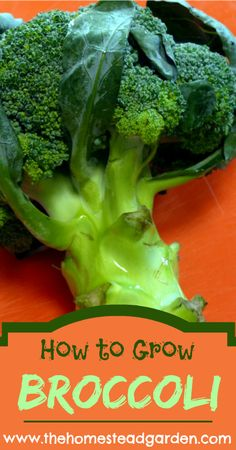Learn how to grow broccoli, a plant that can be grown in the spring or the fall, depending on your climate. Learn how to properly take care of your broccoli plant for the best harvest.