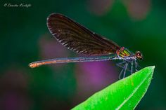 colorful dragonfly by Dimitra Karlafti on 500px