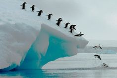 """""""smithsonianmag: Photo of the Day: Adelie penguins group dive Photo by: Lois Summers (Troutdale, Oregon); Antarctic Peninsula """""""
