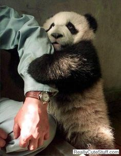 I'd love to go to the Wolong Panda Reserve in China. You can hold baby pandas there!