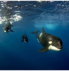 An Encounter with Orcas Orcas, Beautiful Creatures, Animals Beautiful, Great White Shark, Ocean Creatures, Killer Whales, Underwater Photography, Photography 101, Ocean Life