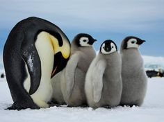 Where are their tap shoes? Emperor Penguins, AntarcticaPhoto: Dafna Ben Nun  An adult emperor penguin in Antarctica takes care of the young ones while the other parents are fishing.