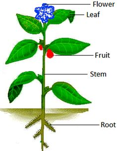 How plants grow and change? The different parts of a plant are shown in the picture. The main parts of most plants are roots, stem, leaf and flower. Roots of a plant are present under the ground. Lkg Worksheets, Science Worksheets, Science Lessons, Kindergarten Worksheets, Worksheets For Kids, Preschool Activities, Preschool Charts, Learn Science, Plant Science