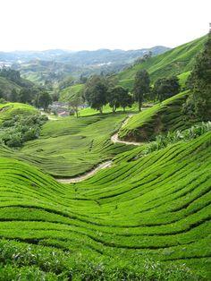 Malaysia - Green tea fields