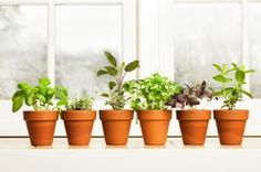 Five Healing Herbs to Grow Indoors