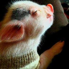 Piggie in a sweater
