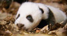 panda cub | Sleepy Panda Cub