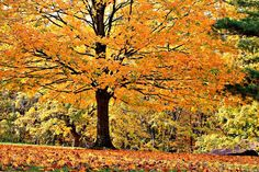 The hues of orange are just spectacular at Cowan Lake State Park this Autumn! You might see this tree on your next hike with family...  http://www.clintoncountyohio.com/list/parks/cowan-lake-state-park2  image credit: Sarah Newton  #DaytonFall #FallColors #Ohio