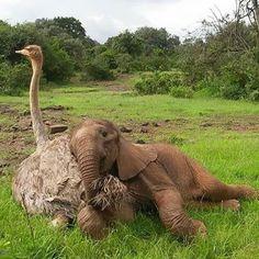 Filhote de elefante faz amizade com avestruz após se separar da mãe