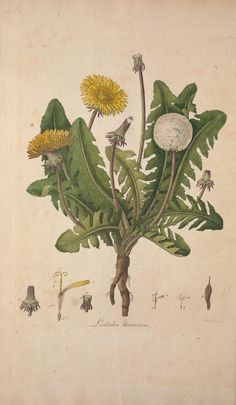 Leontodon taraxacum. Flora Londinensis v.1  London :Printed for and sold by the author ... and B. White,1777.  Biodiversitylibrary. Biodivlibrary. BHL. Biodiversity Heritage Library