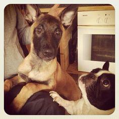 Malinois & French Bulldog