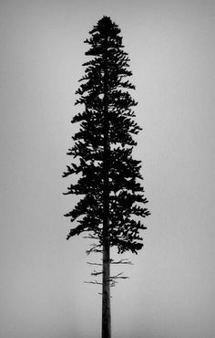 Image result for redwood trees drawing california