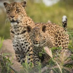 "Thandi and Tlalamba are back on Djuma. ""Terminator Thandi"" managed to take down a steenbok earlier this morning meaning these two will spend their weekend feasting _ Sabi Sands Game Reserve _ Photo by Scott Dyson. #SafariLIVE #Africa #Leopards"