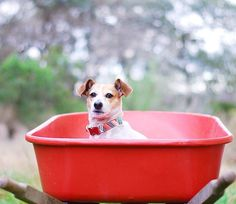 If this photo of Lotte chillin' in a wheelbarrow doesn't make you smile I don't know what will.  Photo Credit to the fab @allaboutlotte wearing the Spring Collection. #jrt #jackrussellterrier #walkinthebark by walkinthebark