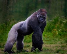 Fierce-looking, handsome Silverback Gorilla. Related articles by Zemanta… Primates, Mammals, Nature Animals, Animals And Pets, Cute Animals, Silverback Gorilla Strength, Beautiful Creatures, Animals Beautiful, Gorillas In The Mist