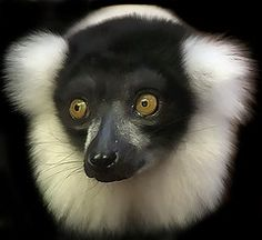 Ruffed lemurs live in multi-male/multi-female groups and have a complex and flexible social structure, described as fission-fusion. They are highly vocal, and have loud, raucous calls. Happy Animals, Animals And Pets, Cute Animals, Wild Animals, Primates, Mammals, Slow Loris, Tropical Animals, Extinct Animals