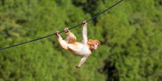 """We purchased this inversion table in the year 2000 and we are still using the exact same model since then! This table was used almost every day for a quick two to five minute stretch and a couple of times during the week for a """"hanging"""" ab  workout. Talk about durable! Hanging Photos, Animals Images, Orangutan, Borneo, Back Pain, Monkey, Stock Photos, Inversion Table, North India"""