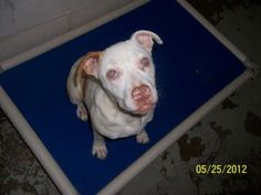 Petango.com – Meet Isis, a Terrier, Pit Bull / Mix available for adoption in CLARKSVILLE, AR