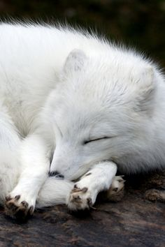Arctic Fox by MiracleOfCreation (ON)