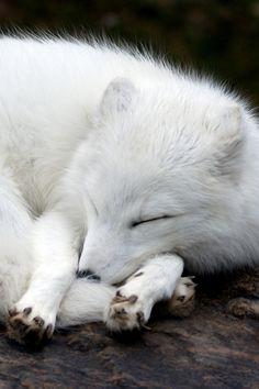 Arctic Fox by MiracleOfCreation (ON)