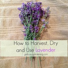 Herb Gardening Lavender smells and tastes wonderful! Learn how to harvest lavender, how to dry it, and ideas for using lavender. - Lavender smells and tastes wonderful! Learn how to harvest lavender, how to dry it, and ideas for using lavender. Lavender Uses, Lavender Leaves, Lavender Crafts, Growing Lavender, Lavender Garden, Lavender Recipes, Lavender Blue, Lavender Fields, Herbal Tinctures