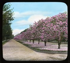"Sometimes archives are a mystery. Does anyone know where this photograph of an unidentified garden titled ""Magnolia Avenue"" was taken? The glass lantern slide was produced in 1930. Smithsonian Institution, Archives of American Gardens, J. Horace McFarland Collection. #ArchivesMonth2013"