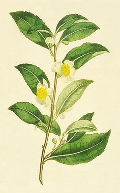Tea Plant Illustration – the Camellia Sinensis