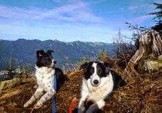 My border collie hiking pals at the top Mount Washington near North Bend, WA http://border-collies-in-the-burbs.blogspot.com/2015/01/mount-washington-hike.html