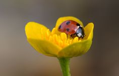 Ladybug On Kingcup by René Pirker on 500px