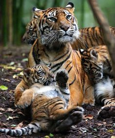Tigress with her cubs   follow @sophieeleana